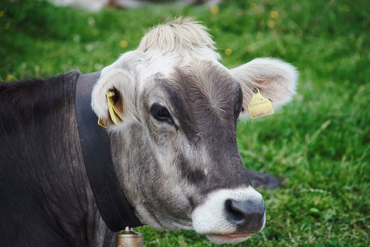 🐮 portrait Malga Trentino Alto Adige Lanzwiese Sued Tirol Farm Cow Animal Themes Animal Mammal One Animal Domestic Animals Vertebrate Animal Wildlife Domestic Focus On Foreground Pets Day Close-up Land Nature Animals In The Wild Animal Head