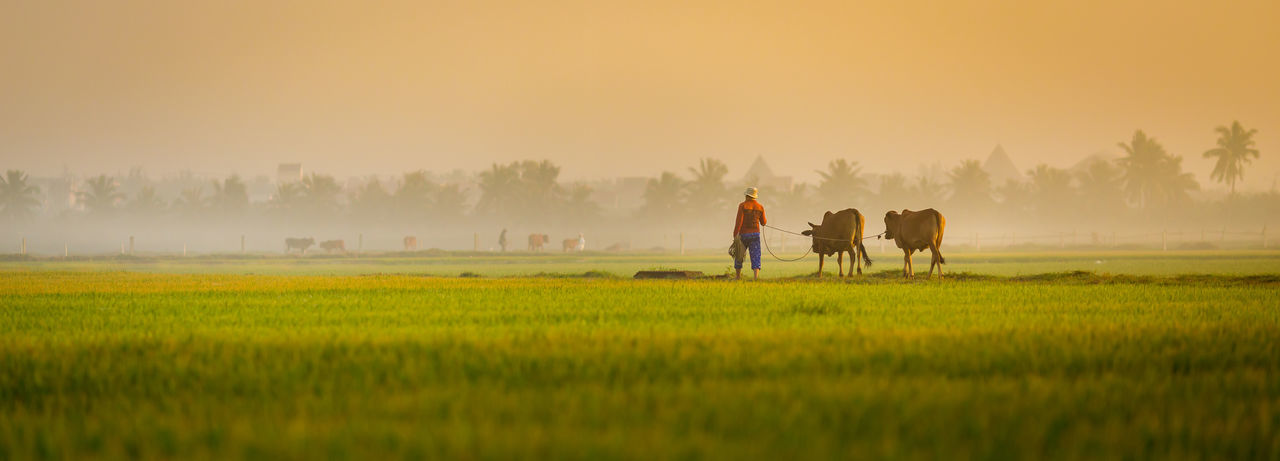 Panoramic view of farmer walking with bulls on field