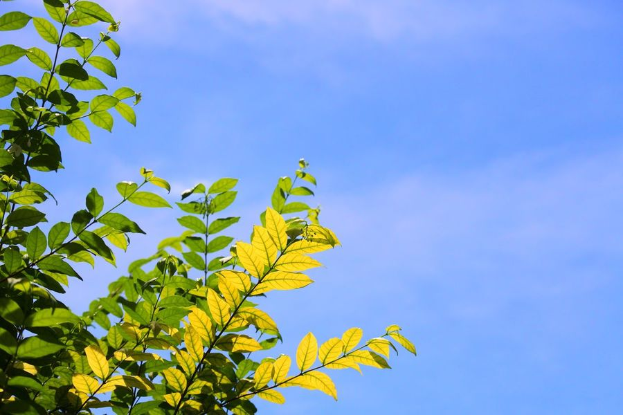 Sky Leaf Sky Plant Part Low Angle View Plant Tree Nature Leaves