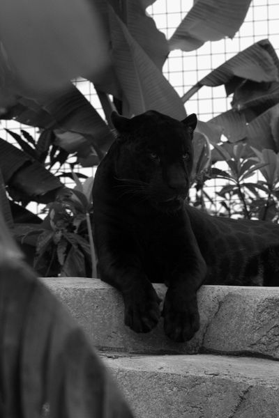 JAGUAR Blackandwhite Zoodevincennes Noiretblanc Animals Photography Tree Animals Parczoologique Wild
