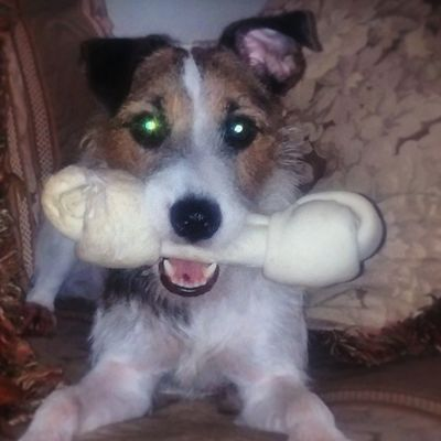 Remy got a treat!😄 Remy Cute Puppy Jrt Jackrussell
