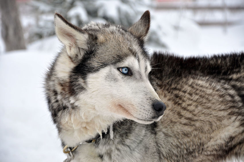 Husky portrait Animal Canine Carnivore Cold Dog Dogsled Domestic Animals Eyes Friendship Fur Husky Husky Puppy Husky ♡ Mammal Pedigree Portrait Puppy Sled Sledding Sleddog Snow Snow ❄ Winter Wolf Wolfdog
