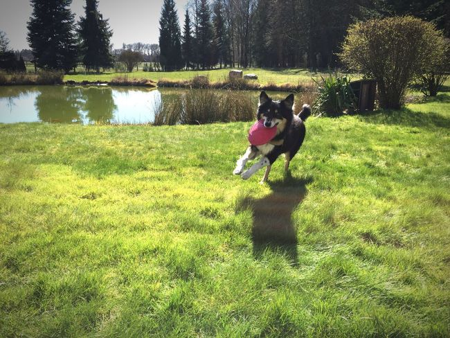 Perfekte Kurvenlage ☺️🐶☀️ Sun Joy Border Collie Dog Dog Love Animals Love Loveofmylife Pets Grass Nature Frisbee No People Heaven Dogs Of EyeEm DogLove
