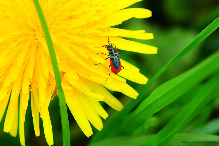 Insect Flower Animal Themes Animals In The Wild Animal Wildlife Yellow Fragility Nature Petal Close-up Beauty In Nature Leaf Beetle Bug Beetle Insect Nature Beetle Collection Sunnyday EyeEm Nature Lover Colours Of Life Springtime Colours Of Spring Outdoors Dandelion Freshness Grass Colours Of Nature