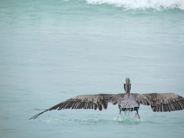 Pelicano iniciando vuelo. Eye4photography  Galapagos Islands All You Need Is Ecuador EyeEm Nature Lover Nature_collection Landscapes With WhiteWall Capture The Moment EyeEm Best Shots Beautiful Nature Pelican Taking Photos