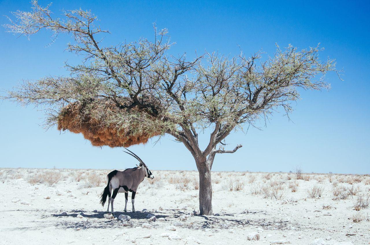 Gemsbok against clear sky