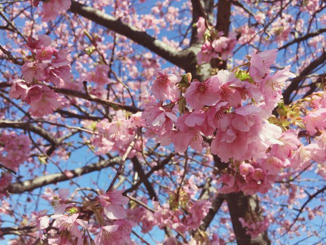 Cherry Blossoms Pink Flower Blue Sky Spring Spring Flowers 伊豆 河津 河津桜
