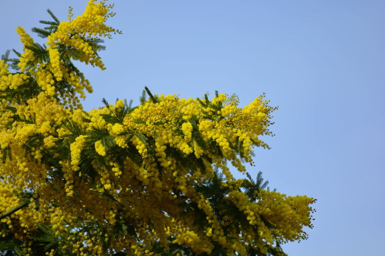 Low angle view of yellow leaves against clear blue sky