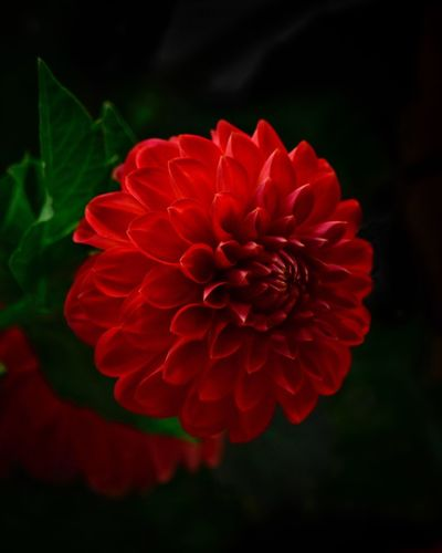Flowering Plant Flower Petal Inflorescence Flower Head Red Vulnerability  Dahlia Focus On Foreground Day Outdoors No People Nature Growth Close-up Freshness Plant Fragility Beauty In Nature