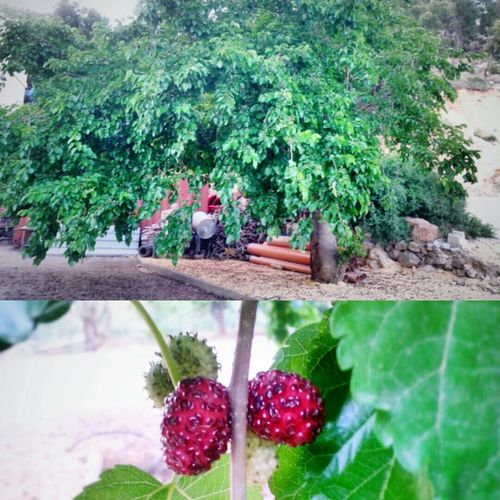 By Me MyPhotography Myphoto Photography Photo Taking By Me Taking Photo Tree Strawberries Strawberry Tree Greenleaves Delicious Fruit Delicious Fruit Red Strawberries Hanging Out Shot EyeEm EyeEm Trees EyeEm Food Lovers Eyeem Food  Eat Strawberries Big Tree Our Tree In Grandfather House