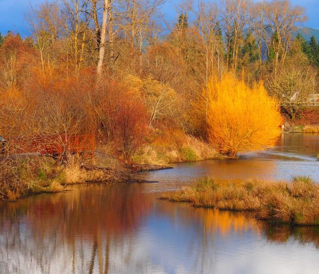 Showcase: February Yellow willows budding out already! Delta Ponds Willamette Valley Reflection Water Reflections Yellow Autumn Colors Spring Into Spring