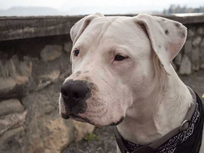 Good Boy Animal Themes One Animal Domestic Pets Mammal Dog Domestic Animals Canine Animal Vertebrate Focus On Foreground Close-up Looking Away Looking Day Animal Head  Outdoors Nature Weimaraner Animal Mouth Dogo Argentino Dogoargentino Switzerland Schadaupark