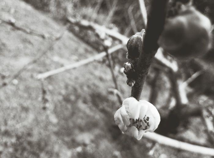 Peach Blossom Black & White Spring Flowers