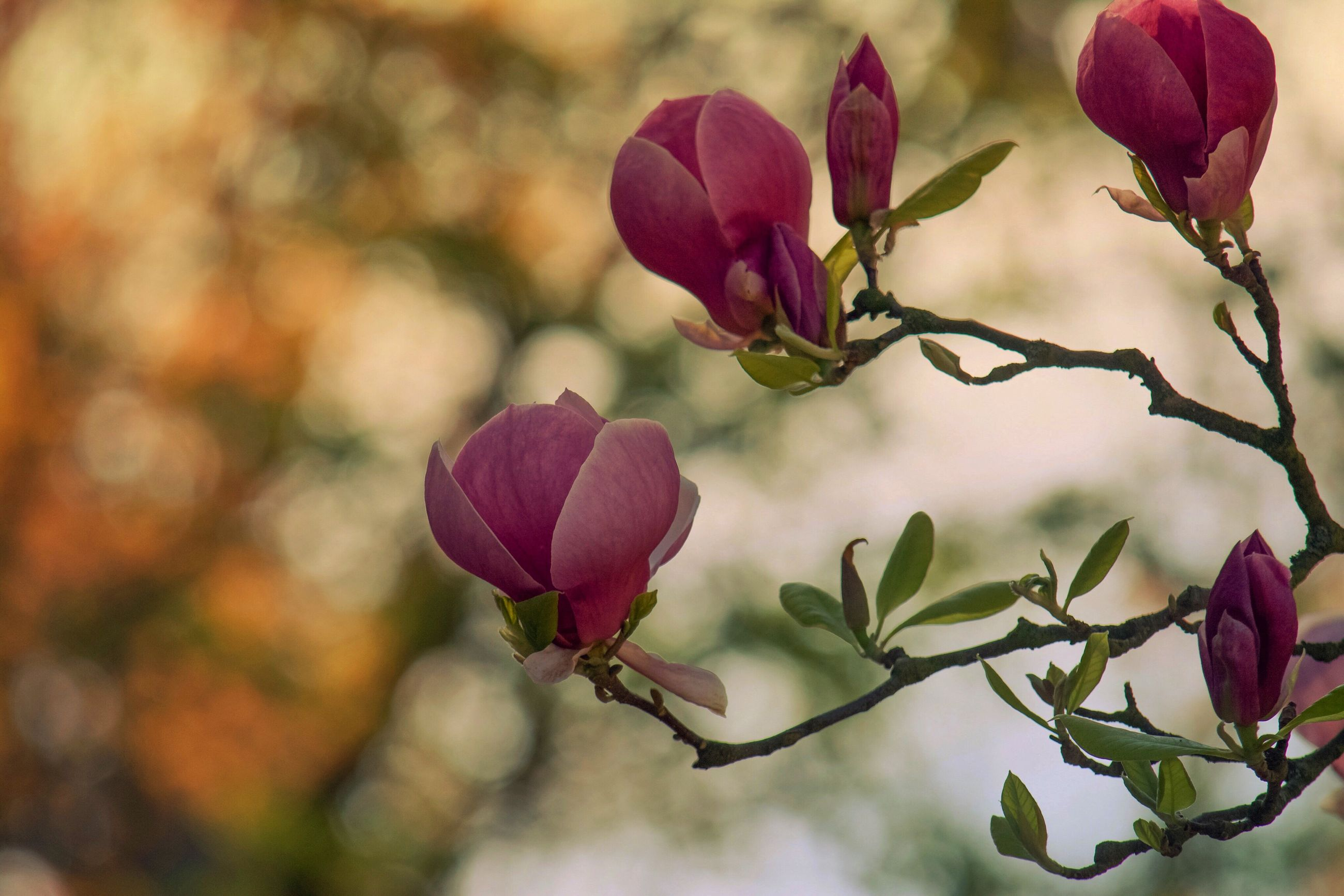 flower, freshness, fragility, growth, pink color, focus on foreground, beauty in nature, bud, petal, close-up, nature, stem, plant, branch, leaf, twig, beginnings, flower head, blooming, new life