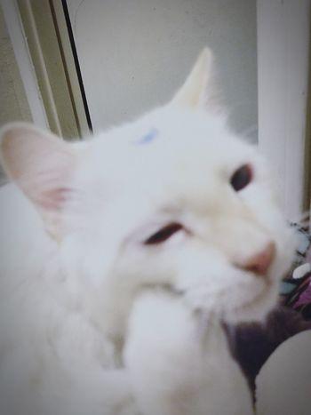Alaska looks like he's thinking what happened last night? lol #fur Babies #whitecat #AlaskaVioletJinx EyeEmNewHere #filters #mybabykittie Lovecats❤️ Proud Mommy Animated Animal Expressive Kitty Tired Kitty Close-up