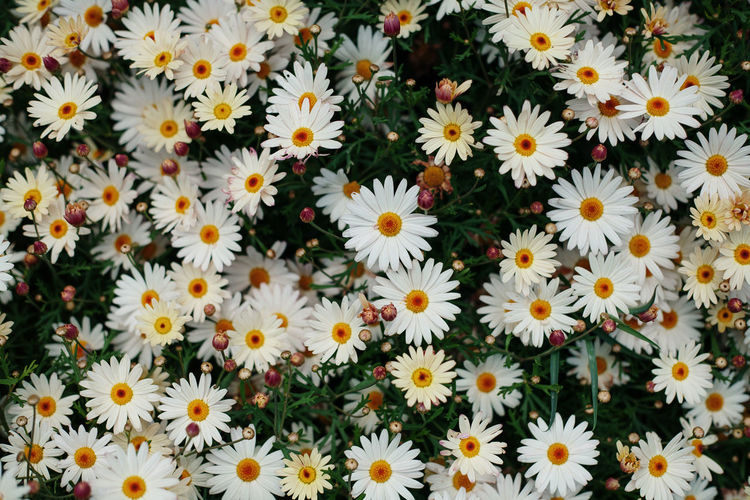 Azores Azores, S. Miguel Flower Flowering Plant Plant Vulnerability  Freshness Fragility Backgrounds Close-up Beauty In Nature Flower Head Inflorescence Growth Petal Full Frame Flowerbed Pollen Botany High Angle View Nature Daisy Day No People