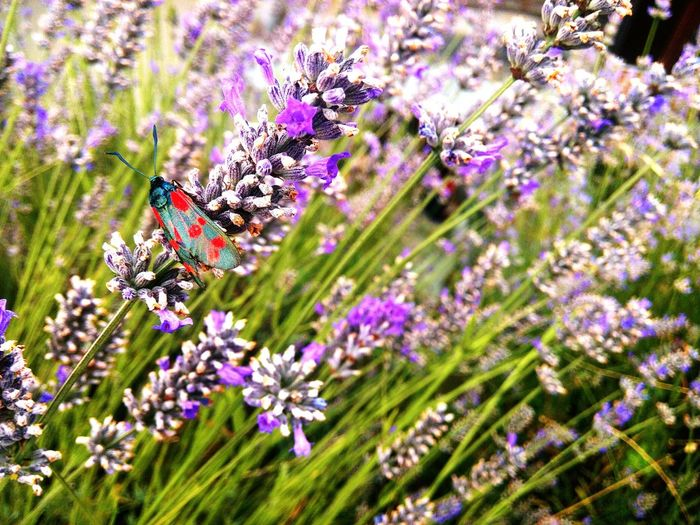 Wunderful kind of butterfly Butterfly Lavanda Suisse  Fragility Insect One Animal Beauty In Nature Majestic Non-urban Scene