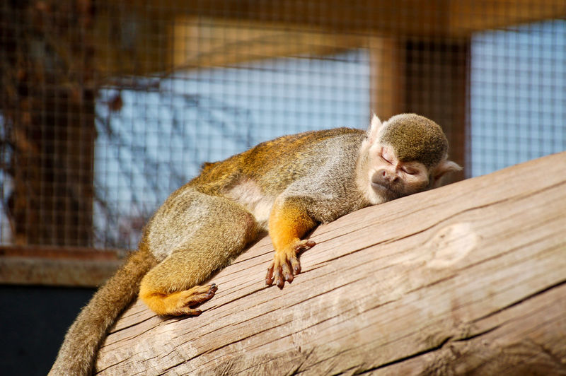 sleeping squirrel monkey on a log Close-up Cute Day Focus On Foreground Mammal Monkey Nature No People Outdoors Selective Focus Sleep Sleeping Squirrel Monkey Young Animal