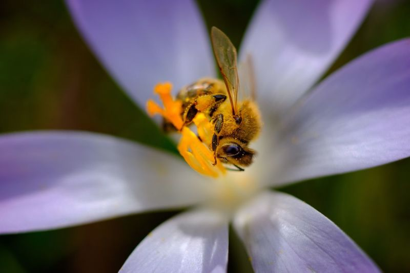 Flower Fragility Freshness Beauty In Nature Nature Petal Animal Themes Flower Head One Animal Growth Insect Animals In The Wild Pollen Close-up Blooming No People Day Pollination Bee Plant Crocus Flowers Zeiss Planar 60mm Fuji-xe2s Tenebrio.photos