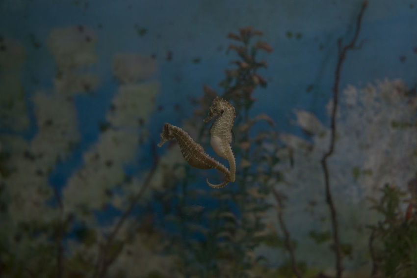 Two beautiful seahorses. Animal Themes Animal Wildlife Animals In The Wild Close-up Day Nature No People One Animal Outdoors Sea Life Swimming UnderSea Underwater Water