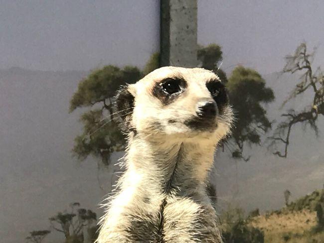 Meerkat One Animal Animal Themes Animal Vertebrate Mammal Animals In The Wild Animal Wildlife