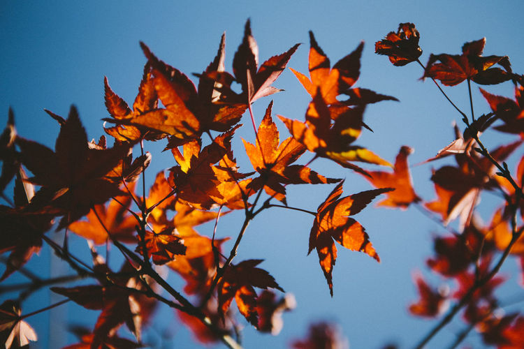 Autumn in Kyoto. Japan Japanese Maple Autumn Beauty In Nature Branch Change Clear Sky Close-up Day Film Effect Growth Kyoto Leaf Low Angle View Maple Maple Leaf Maple Tree Nature No People Orange Color Outdoors Sky Tree