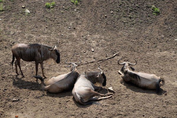 Gnu Wildebeest Antelopes Animal Group Of Animals High Angle View Soil On The Ground Color Palette via Fotofall