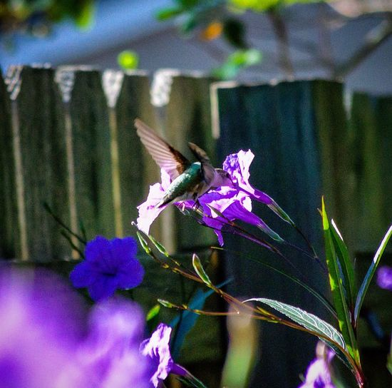 Close-up of butterfly on purple flowers growing in garden