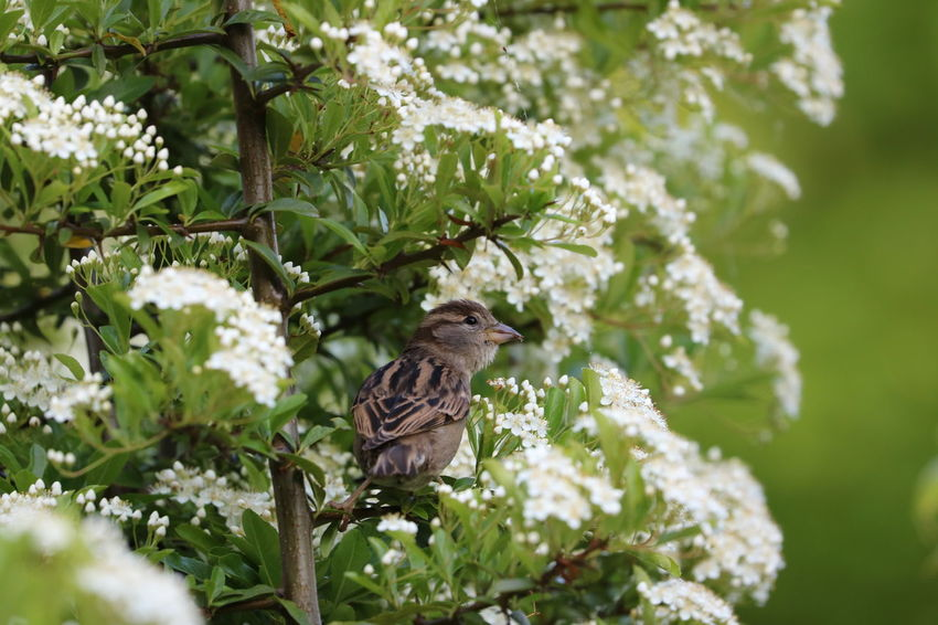House Sparrow amongst branches. Animal Themes Animal Wildlife Animals In The Wild Beauty In Nature Bird Day House Sparrow Nature No People One Animal Perching Sparrow Sparrow Bird Sparrow In A Tree Sparrow On A Branch Sparrow, Bird, Feathers, Tweet, Bush Branches, Brown, Sitting, Still,
