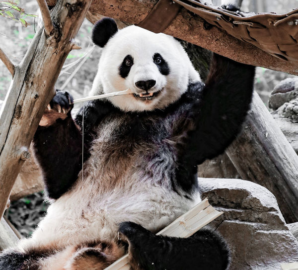 Bai Yun is an awesome mother! Giant Panda Giant Panda Bear HappyPanda Panda Bear Animal Bear Happymama Herbivorous Mama Mammal One Animal Panda - Animal Relaxation Sitting Zoo Zoology