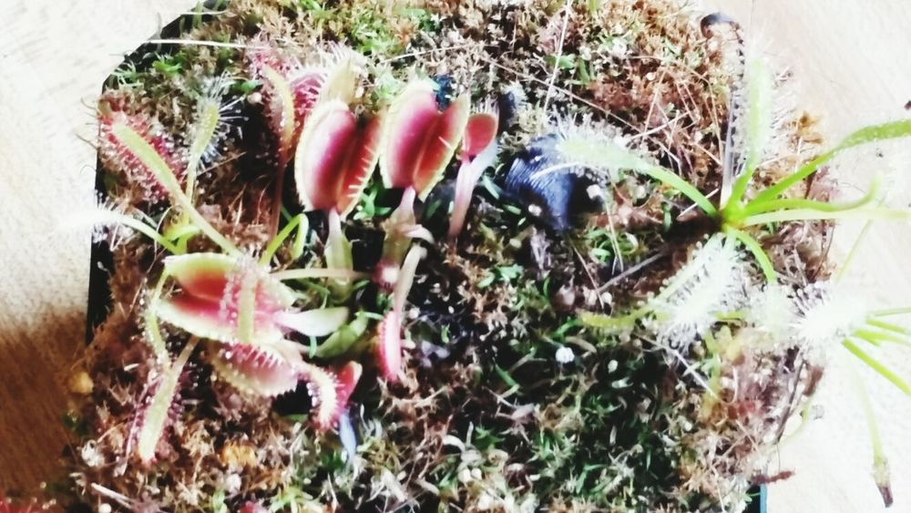 Carnivorous Plant Sundews Hungry Plants