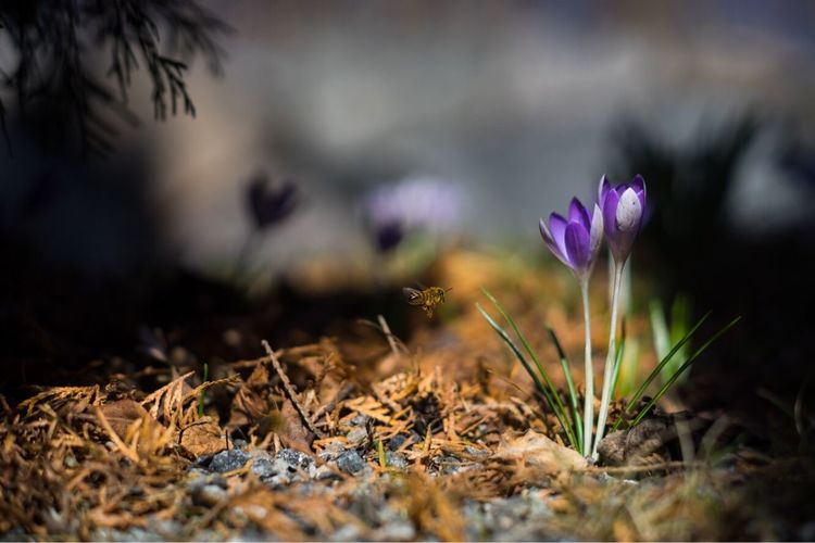 Spring in Stockholm Flower Fragility Growth Outdoors Close-up Surface Level Day Crocus Flower Head Spring Nature