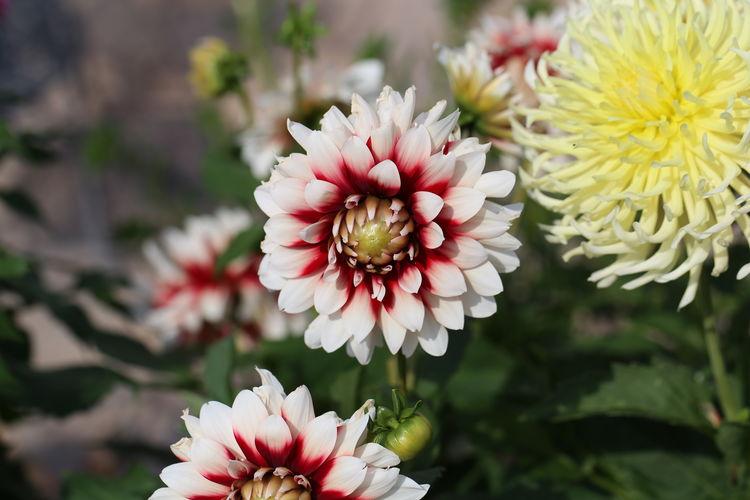 Close-up of white dahlia flowers