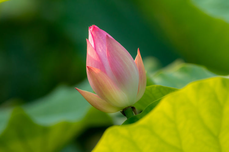 Close-Up Of Pink Lotus Water Lily Growing Amidst Leaves