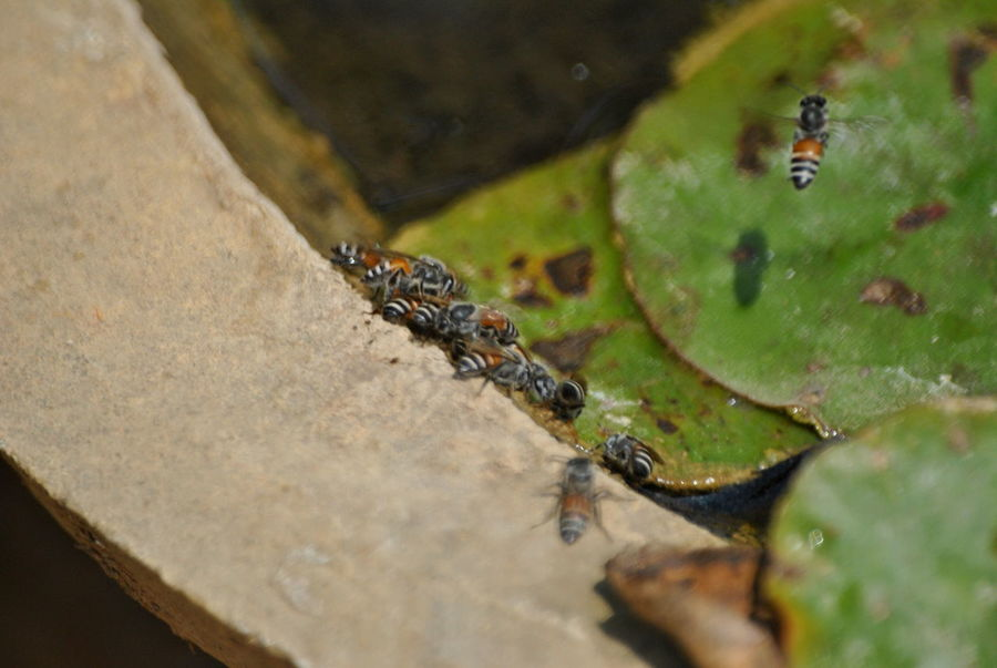 Animal Themes Animal Wildlife Animals Animals In The Wild Bees Drinking Water Close-up Day High Angle View Insect Leaf Nature Nature No People One Animal Outdoors