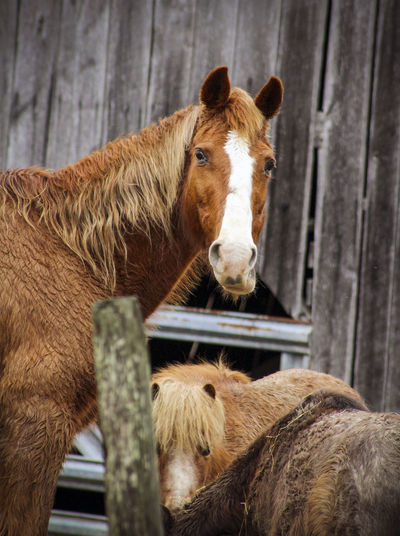 Horses standing against stable