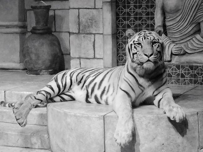 Whitetiger Animals Pose Animal Kingdom Egpyt Egyptian Blackandwhite