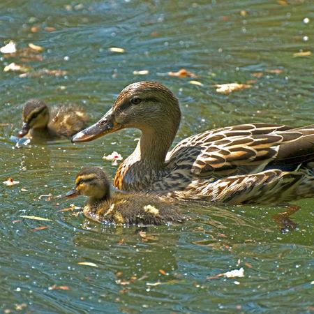 die 3 Ducks