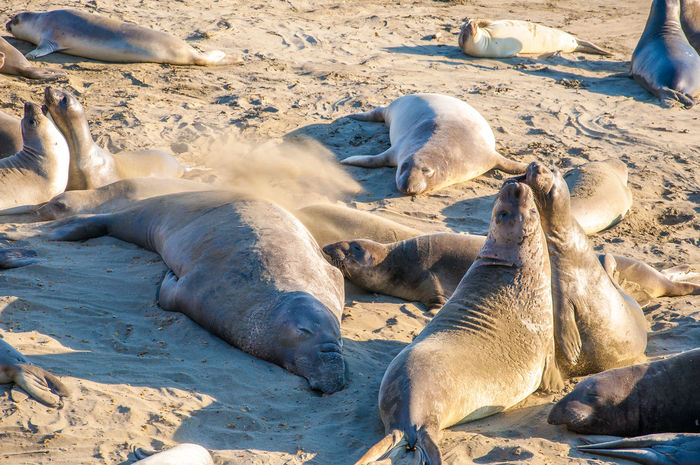 Elephant seals playing and sleeping on a beach on the Californian coast California Endangered Species Animal Themes Animal Wildlife Animals In The Wild Beach Conservation Day Elephant Seals Environmental Conservation Large Group Of Animals Mammal Marine Mammals Nature No People Northern Elephant Seal Outdoors Pacific Coast Playing Protected Species Relaxation Sand Seals Sunbathing Togetherness Wrestling California Dreamin Summer Exploratorium