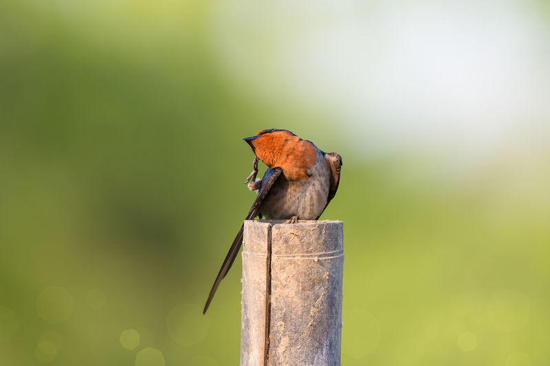 Pacific swallow preening feathers on wooden post