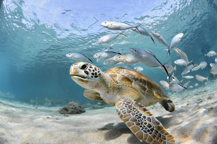 Fishes and turtle swimming in sea