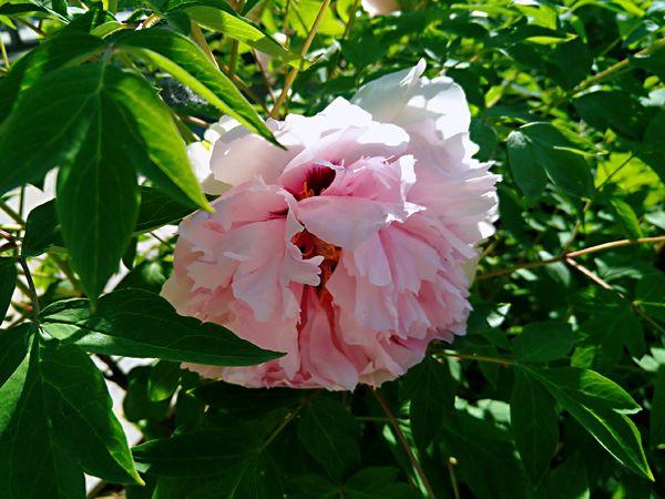 绿艳闲且静,红衣浅复深。花心愁欲断,春色岂知心。——王维《红牡丹》 Flower Head Flower Hibiscus Leaf Pink Color Petal Close-up Plant Pale Pink