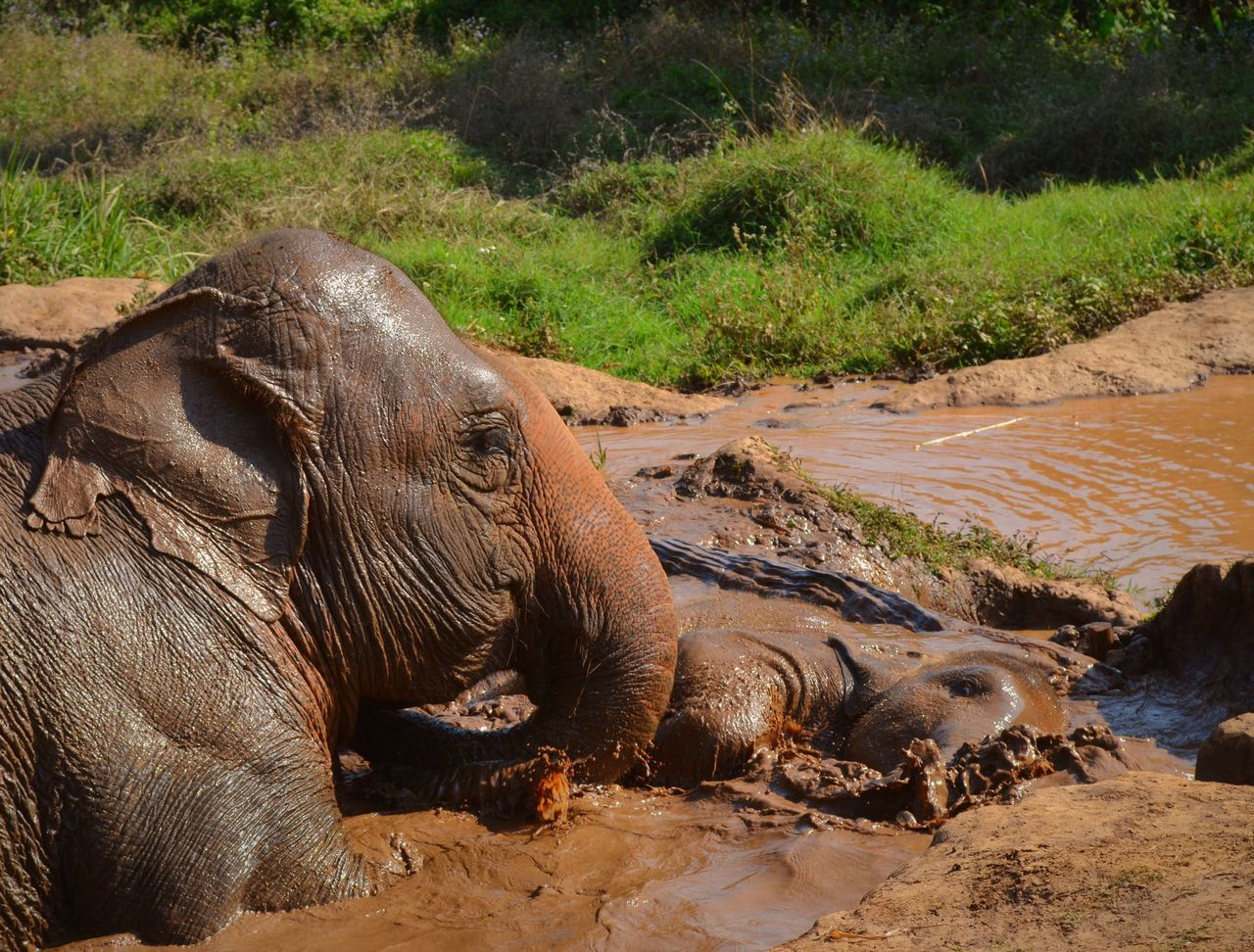 animals in the wild, animal themes, mammal, one animal, no people, animal wildlife, nature, day, safari animals, outdoors, hippopotamus, water, domestic animals, tree