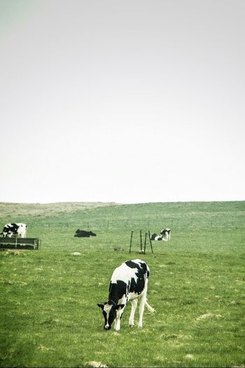 Green Travel Cows Ferns