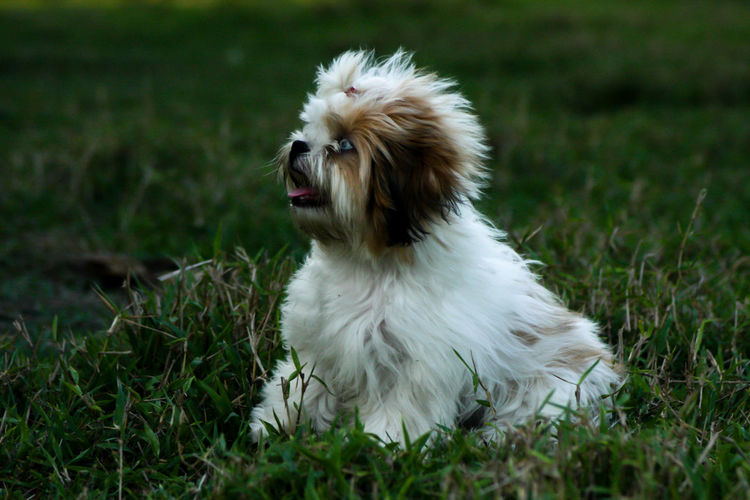 Dogs play in the meadow fun. Animal Canine Dog Domestic Domestic Animals Mammal No People One Animal Pets Vertebrate
