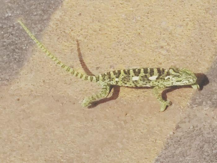 chameleon ,color changing, garden