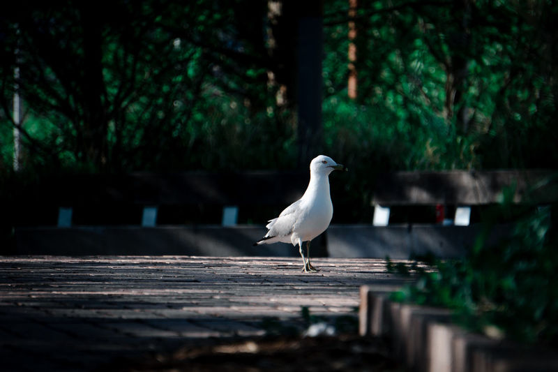 Seagull perching on retaining wall