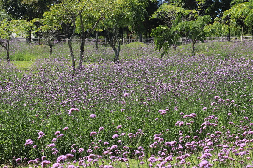 Verbena Bonariensis Verbena Plant Flower Flowering Plant Growth Beauty In Nature Tree Land Field Freshness Nature Tranquility Day Vulnerability  Fragility Green Color No People Tranquil Scene Grass Landscape Scenics - Nature Outdoors Purple Flowerbed