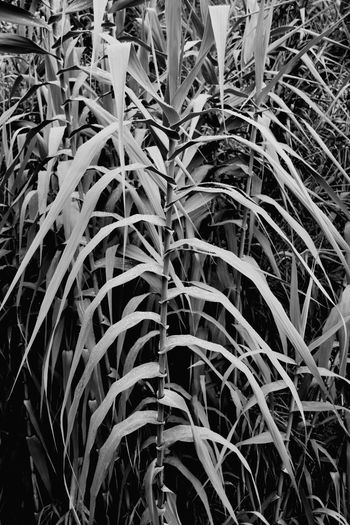 Caña Blackandwhite Blancoynegro Blanco Y Negro Black And White Nature Natura Hojas