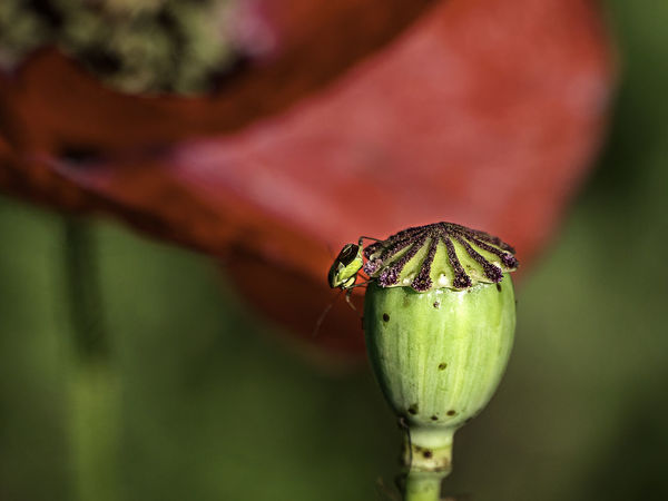 Klatschmohn Close-up Day Flower Flower Head Focus On Foreground Green Color Growth Insect Nature No People One Animal Outdoors Plant Red
